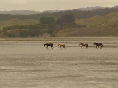 horses crossing estuary mud-flats, Kawhia harbour