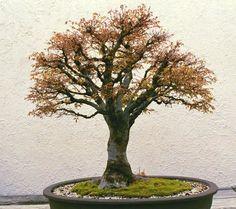 Japanese Elm Bonsai seed Zelkova serrata