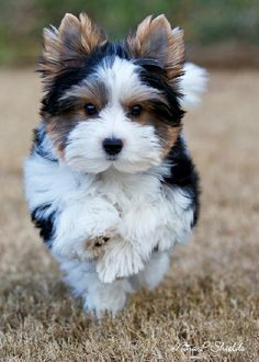 cheap yorkie puppies for sale