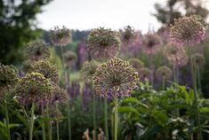 Zahrada zvlněná | Atelier Flera Boxwood Garden, Dandelion, Flowers, Plants, Instagram, Atelier, Dandelions, Plant, Taraxacum Officinale