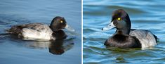 https://www.audubon.org/news/greater-or-lesser-scaup-here-are-biggest-differences-between-two