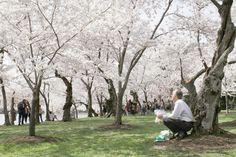 69894_web_wire_CherryBlossom_4col-color.jpg (500×333)