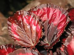 Bright Red and Bronze Foliage of a Begonia rex-cultorum