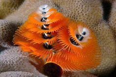 Christmas Tree Worm, Fiji