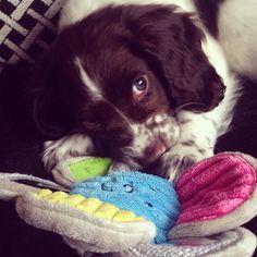 Brian! 9 weeks old sprocker puppy