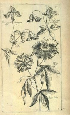 Pierre Vallets book Le jardin du Roy tres chrestien Loys XIII published in Floral Illustrations, Graphic Design Illustration, Illustration Art, Botanical Drawings, Botanical Prints, Vintage Prints, The Artist's Way, Historia Natural, Flower Artists