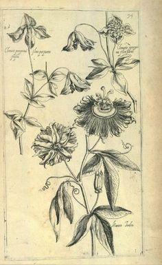 Pierre Vallets book Le jardin du Roy tres chrestien Loys XIII published in 1623 - Passiflora & Clematis