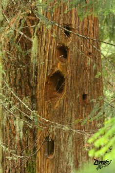 Holes left from a pileated woodpecker...now I know where the holes are coming from