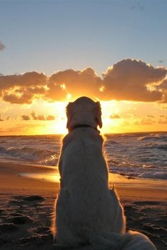 Golden Retriever enjoys a beautiful sunset I Love Dogs, Cute Dogs, Beach Walk, Sunset Beach, Dog Beach, Beach Sunsets, Sunset Sky, Old Dogs, Sunset Photography
