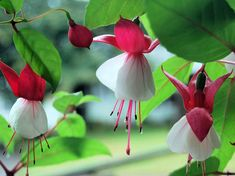 Top 9 Most Beautiful Flowers For Hanging Baskets - Fuchsia Beautiful Flowers Images, Flower Images, Amazing Flowers, Pretty Flowers, Red Flowers, Colorful Flowers, Prettiest Flowers, List Of Flowers, Types Of Flowers