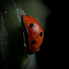 """for Macro monday weekly theme : """"wet"""" Skyfall, Secondary Color, Animals Beautiful, Ladybugs, Dragonflies, Nature, Butterflies, Pictures, Art"""