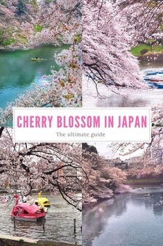 A Complete Guide to Cherry Blossoms in Japan. Travel in Asia. #JapanTravelBucketLists