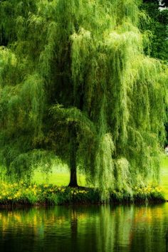 Weeping Willow By Pond