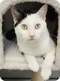 New York, NY - Domestic Shorthair. Meet Ashanti (Manhattan), a cat for adoption. http://www.adoptapet.com/pet/15591080-new-york-new-york-cat