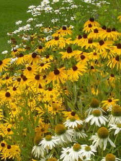 Daisy, black eyed susans and white coneflowers...great prairie flowers