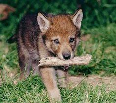 Baby Wolf 01