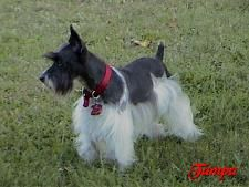 Parti-Colored Schnauzer | Toy Liver and Parti Schnauzers from Toyland Express.