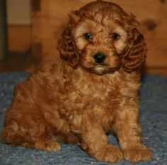 First generation red cockapoo. Can't wait until we get one.