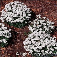 Iberis - dwarf candytuft - little white flower clusters - spreads nicely