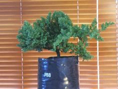 Container Gardening For Beginners Bonsai for Beginners: step by step instructions, with pictures, on how to create a bonsai tree Flowering Bonsai Tree, Bonsai Tree Types, Bonsai Tree Care, Indoor Bonsai Tree, Juniper Bonsai, Pot Jardin, Bonsai Seeds, Miniature Trees, Bonsai Garden