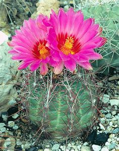 """""""Glory of Texas"""" - Thelocactus  I HATE CACTUS BECAUSE THEY POKE..BUT I LOVE PINK FLOWERS.."""