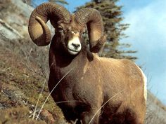 Aries is symbolized by the Ram. Aries, Big Horn Sheep, Sheep And Lamb, Bow Hunting, Trophy Hunting, Animal Games, Woodland Creatures, Wildlife Art, Nature Wallpaper