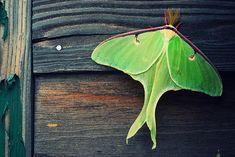 Butterfly? Beautiful Butterfly! #green #chartreuse #luna_moth