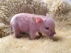 Cute mini pig video is a video about the cutest little pets you can have in your home they are smart adorable and so cute. Micro Piglets, Baby Piglets, Cute Piglets, Cute Baby Pigs, Cute Baby Animals, Funny Animals, Tiny Pigs, Pet Pigs, Funny Pig Pictures