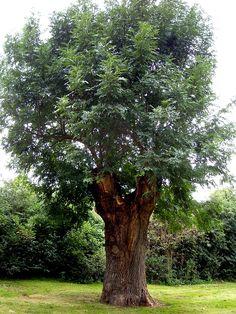 bäume bilder   Alte Esche
