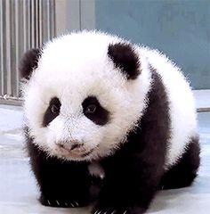So cute baby panda O(∩_∩)O