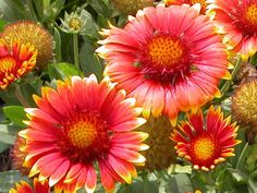 Blanket flower. An excellent choice for the novice gardener, blanket flower is easy to grow and drought tolerant. Vibrant blooms come in red, yellow, orange or a combination of the three. Plant the flowers in masses for brilliant color from late spring to fall; deadhead to prolong bloom. These daisy-like flowers attract butterflies, bees and birds and are deer-resistant. Reseeds freely. USDA Hardiness Zones: 3 to 11