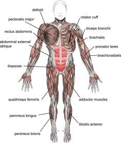 The Muscular System | CK-12 Foundation