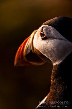 Los Puffins o Frailecillos son el ave nacional de Islandia ... http://queverenislandia.posterous.com/frailecillos-en-islandia | Foto por Richard Costin