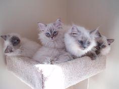 Ragdoll Cats | Few of ragdoll kittens in the cat box #ragdollcatcolorpoint