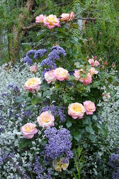 The rose is 'French Perfume', with the purple clouds of statice (limonium) weaving through the rose blooms. The lovely gray background plant is licorice plant (helichrysum).