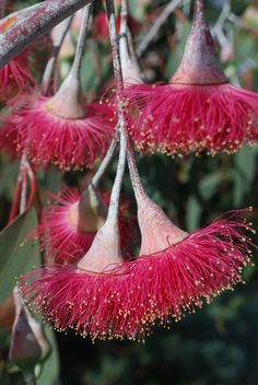 Eucalyptus Silver Princess flowers Australian Wildflowers, Australian Native Flowers, Australian Plants, Australian Bush, Strange Flowers, Rare Flowers, Beautiful Flowers, Red Plants, Nature Plants