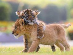 Bébé Tigre et Lion