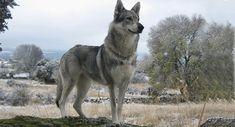 Razas de perros: Perro Lobo Checoslovaco (parte 2 #perro #perros #mascotas #lobo