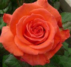 grenadine orange rose