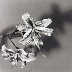 Lily by Robert Mapplethorpe, 1979.