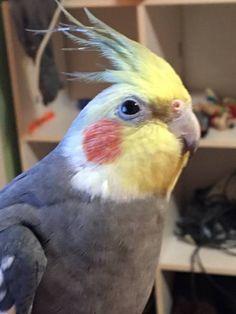 LOST COCKATIEL: 03/18/2017 - Katy, Texas, TX, United States. Ref#: L29177 - #ParrotAlert #LostBird #LostParrot #MissingBird #MissingParrot #LostCockatiel #MissingCockatiel