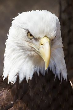 Happy Fourth of July everyone!   Fun facts about bald eagles: 1) When a bald eagle loses a feather on one wing, it will lose a matching one on the other. This way it doesn't lose its balance.  3) The largest known eagle nest was found in Florida. It was 9 feet across, 20 feet deep, and weighed over two tons  4) The bald eagle's grip strength is 10 times that of the average human.