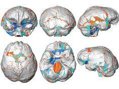 ¿Qué podemos saber del cerebro de nuestros ancestros? | Reflexiones de un primate