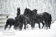 Beautiful Horse Pictures, Beautiful Horses, Animals Beautiful, Horses In Snow, Black Horses, Horse Horse, Dream Big, Moose Art, Prince