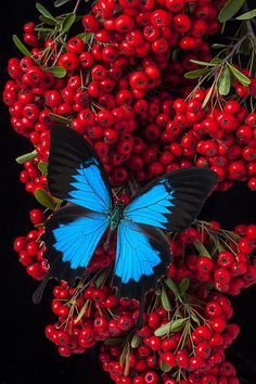 Pyracantha and Butterfly -- by Garry Gay