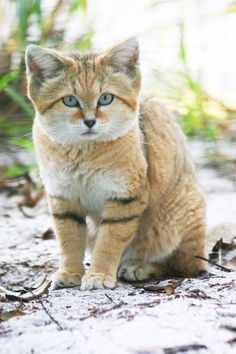 """Canyon, the sand cat    Sand cats (Felis margarita). """"These carnivorous cats live in remote areas of the Sahara Desert, as well as in arid parts of the Middle East and to the east of the Caspian Sea. They hunt at night, using their large ears to detect the few insects, small rodents and lizards that live in the desert. Another adaptation to their environment is the dense fur which protects their soles from the hot desert sand""""."""