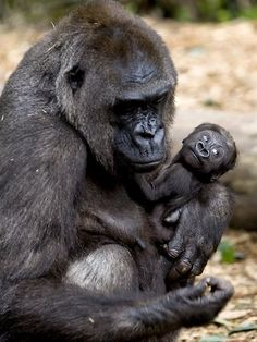 mother gorilla and baby. love the expression on the baby's face, such lively curiosity
