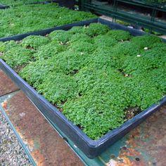 Elfin Thyme (Thymus Serpyllum Elfin) | Budget Plants Thymus Serpyllum, Front Yard Plants, Drought Tolerant Landscape, Plant Species, Herb Garden, Shrubs, Backyard, Outdoor Decor, Patio