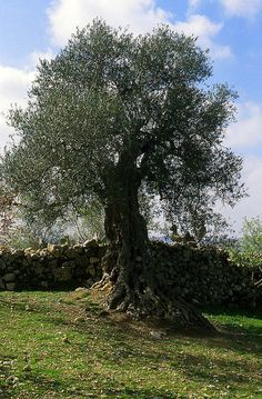 Olive Tree --- Psalm 52:8-But as for me, I am like a green olive tree in the house of God; I trust in the lovingkindness of God forever and ever.