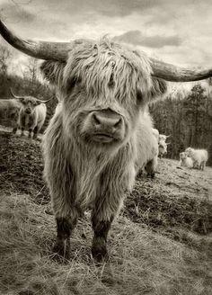 Highland Calf, Highland Cow Art, Scottish Highland Cow, Scottish Highlands, Cow Pictures, Animal Pictures, Cow Photos, Galloway, Farm Animals